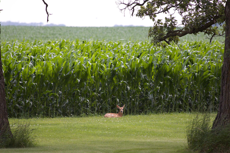 Deer near Corn
