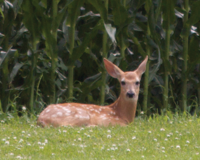 Deer and Cornfield