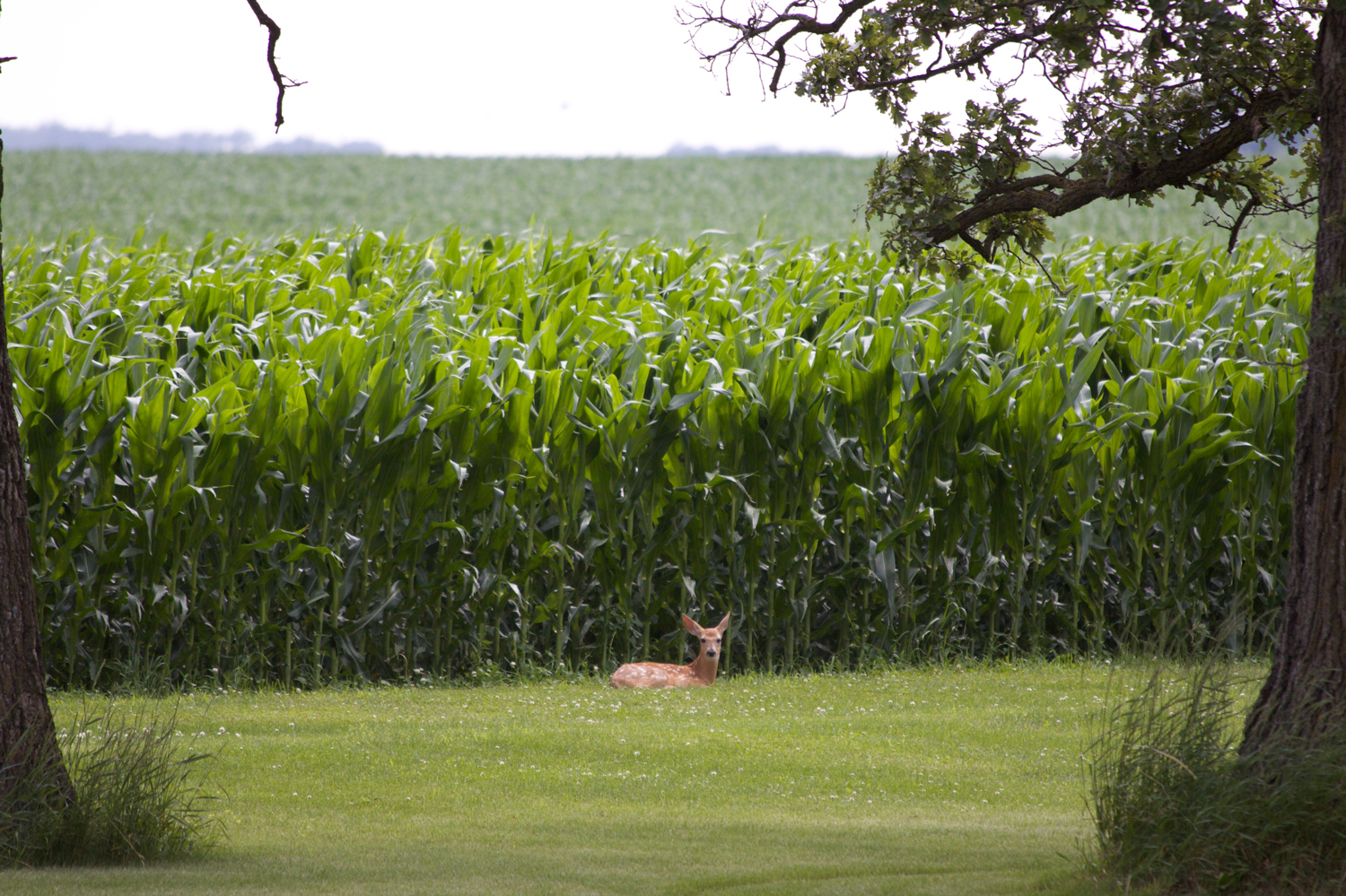 Deer near Corn