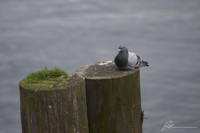 Pidgeon in Seattle